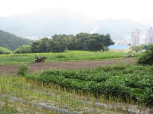 Plowing a field in Yangsan